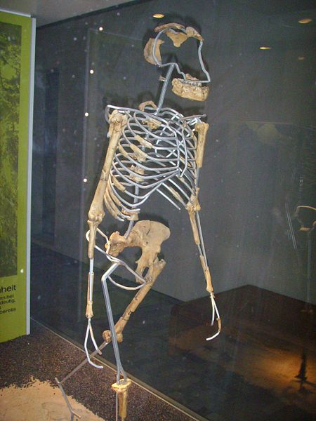 """Critically Analyzing the Discovery of """"Lucy"""" (Australopithicus Afarensis)"""